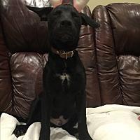 Adopt A Pet :: Sage - Chase - Colmar, PA