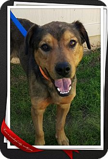 Rottweiler/German Shepherd Dog Mix Dog for adoption in Apache Junction, Arizona - Royal