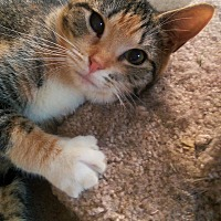 Domestic Shorthair Kitten for adoption in Yuba City, California - Tiny
