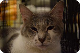 Domestic Shorthair Cat for adoption in Washington, Pennsylvania - Kit