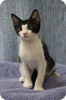 Domestic Shorthair Kitten for adoption in Seminole, Florida - Henry