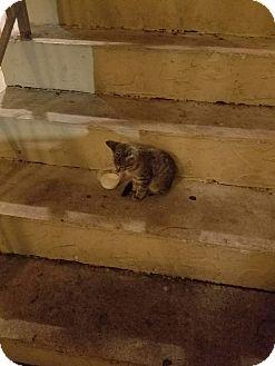Domestic Shorthair Kitten for adoption in Hollywood, Florida - LESTER