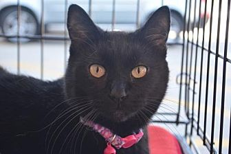 Devon Rex Cat for adoption in Spring, Texas - Molly