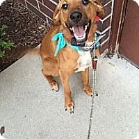 Adopt A Pet :: Gracie **Courtesy Cupid** - West Allis, WI