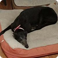 Greyhound Dog for adoption in Independence, Missouri - Kelso