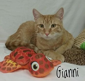 Domestic Shorthair Cat for adoption in Kendallville, Indiana - Gianni
