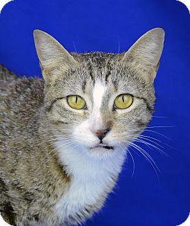 Domestic Shorthair Cat for adoption in LAFAYETTE, Louisiana - BRINKLEY