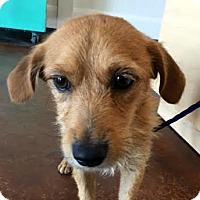 Adopt A Pet :: Lil Buddy - Las Vegas, NV