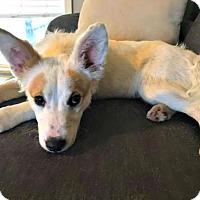 Adopt A Pet :: Buttercup - Little Rock, AR