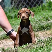 Adopt A Pet :: Blithe - South Dennis, MA