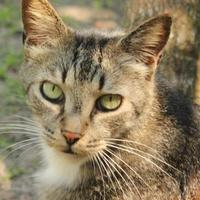 Domestic Shorthair/Domestic Shorthair Mix Cat for adoption in Ravenel, South Carolina - Courage