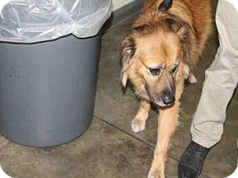 Chow Chow Mix Dog for adoption in Los Angeles, California - BOBOS