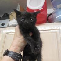 Adopt A Pet :: Gregory - Morgan Hill, CA