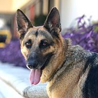 Adopt A Pet :: Mozart - Irvine, CA