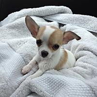 Adopt A Pet :: Lilly - Mesquite, TX
