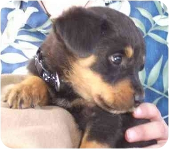 Rottweiler Puppy for adoption in West Los Angeles, California - Ross