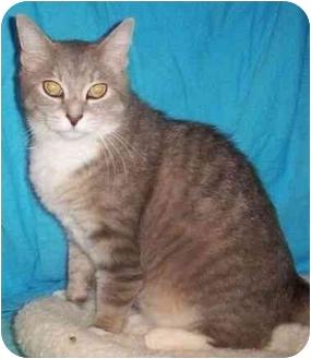 Domestic Shorthair Cat for adoption in Reston, Virginia - Aspen