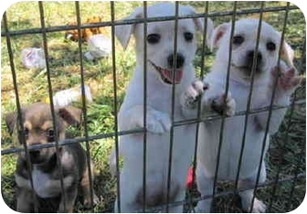 Terrier (Unknown Type, Small)/Chihuahua Mix Puppy for adoption in Grass Valley, California - Female Puppies