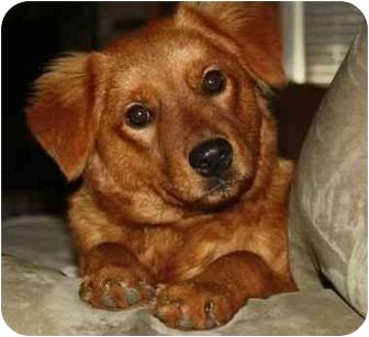 Golden Retriever Mix Dog for adoption in Spring Valley, New York - Bailey