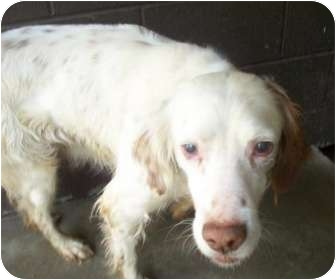 English Setter/Setter (Unknown Type) Mix Dog for adoption in Wood Dale, Illinois - Larkin