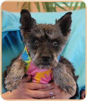 Schnauzer (Miniature) Mix Dog for adoption in Las Vegas, Nevada - Petunia