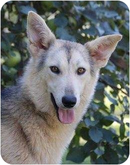 German Shepherd Dog/Husky Mix Dog for adoption in Mora, Minnesota - Dakota