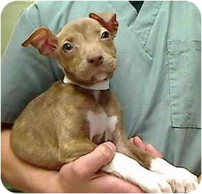 Pit Bull Terrier Mix Puppy for adoption in Seattle, Washington - Mallory - URGENT FOSTER NEEDED