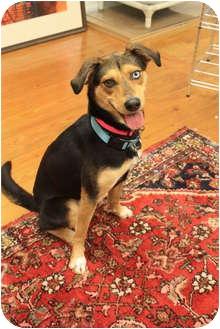 Husky/Shepherd (Unknown Type) Mix Dog for adoption in Nanuet, New York - Sally