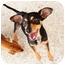 Photo 1 - Miniature Pinscher/Terrier (Unknown Type, Small) Mix Dog for adoption in Boynton Beach, Florida - Blackie