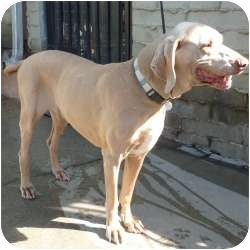 Weimaraner Dog for adoption in Sun Valley, California - Allise