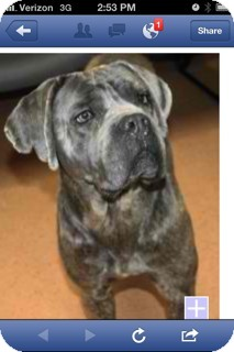 Cane Corso Mix Dog for adoption in Shirley, New York - Bella