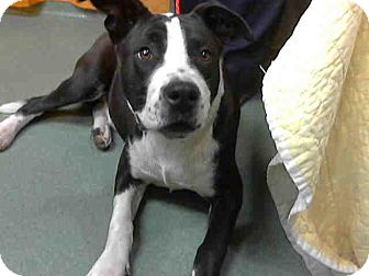 Pit Bull Terrier Mix Dog for adoption in San Diego, California - Fraser URGENT