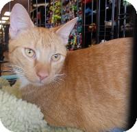 Domestic Shorthair Cat for adoption in Horsham, Pennsylvania - Flynn