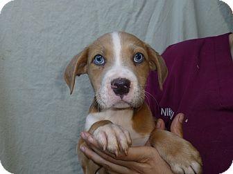 Boxer/Labrador Retriever Mix Puppy for adoption in Oviedo, Florida - Kirk