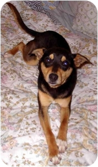 Feist/Terrier (Unknown Type, Medium) Mix Dog for adoption in Nashville, Tennessee - Catia- Adopted