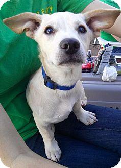 Chihuahua/Corgi Mix Puppy for adoption in Phoenix, Arizona - Porky