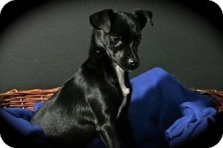 Rat Terrier Mix Puppy for adoption in Lufkin, Texas - Janie