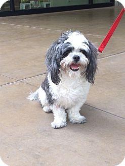Shih Tzu Dog for adoption in Las Vegas, Nevada - Georgie