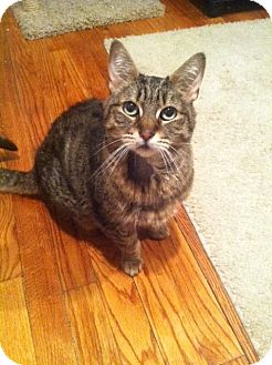 Domestic Shorthair Cat for adoption in Huntington Station, New York - TINKERBELL