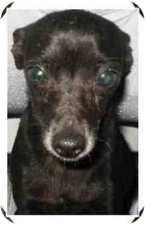 Chihuahua Mix Dog for adoption in METAIRIE, Louisiana - SPIKE