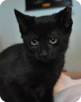 Domestic Shorthair Kitten for adoption in Port Republic, Maryland - Trisha