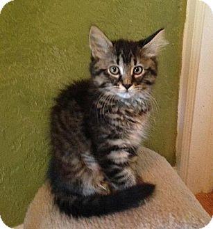 Domestic Longhair Kitten for adoption in HILLSBORO, Oregon - Shrimp