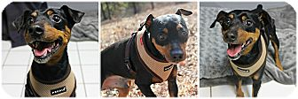 Miniature Pinscher Dog for adoption in Forked River, New Jersey - Zack