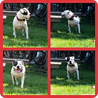American Bulldog/Staffordshire Bull Terrier Mix Dog for adoption in Islip Terrace, New York - Gringo