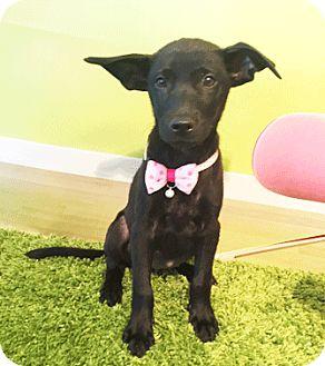 Labrador Retriever Mix Puppy for adoption in Castro Valley, California - Pearlie