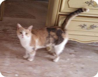 Calico Cat for adoption in Toledo, Ohio - Fergie