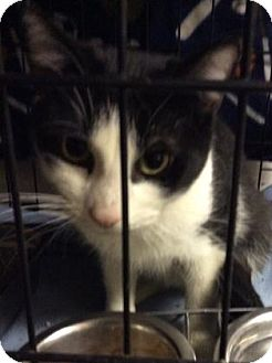Domestic Shorthair Cat for adoption in Parma, Ohio - Diddy