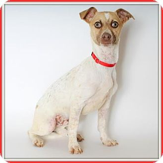 Australian Cattle Dog/Dachshund Mix Dog for adoption in Glendale, Arizona - Goji Berry