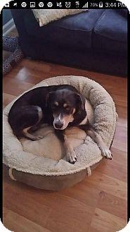 Shepherd (Unknown Type)/Labrador Retriever Mix Dog for adoption in Richmond, Virginia - Foxy