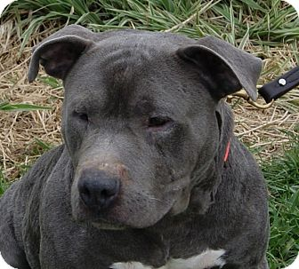Pit Bull Terrier Mix Dog for adoption in Dundee, Michigan - Shashi - Adoption Pending